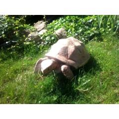 Želva velká